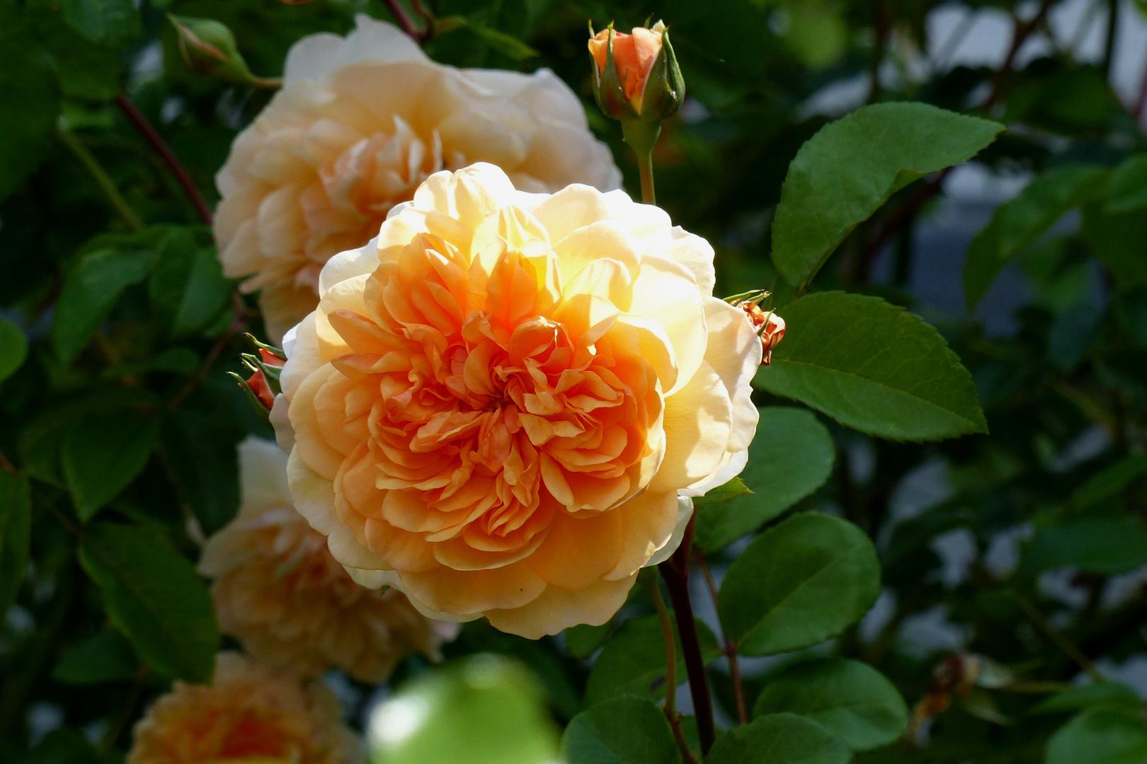 Sommerrose