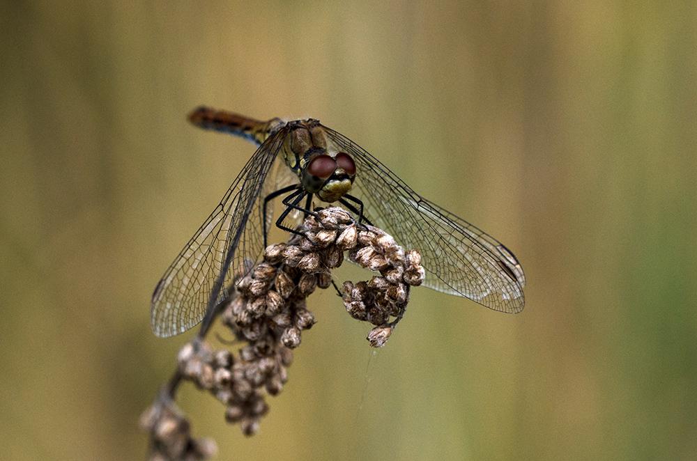 Sommerrückblick Libellen - 2