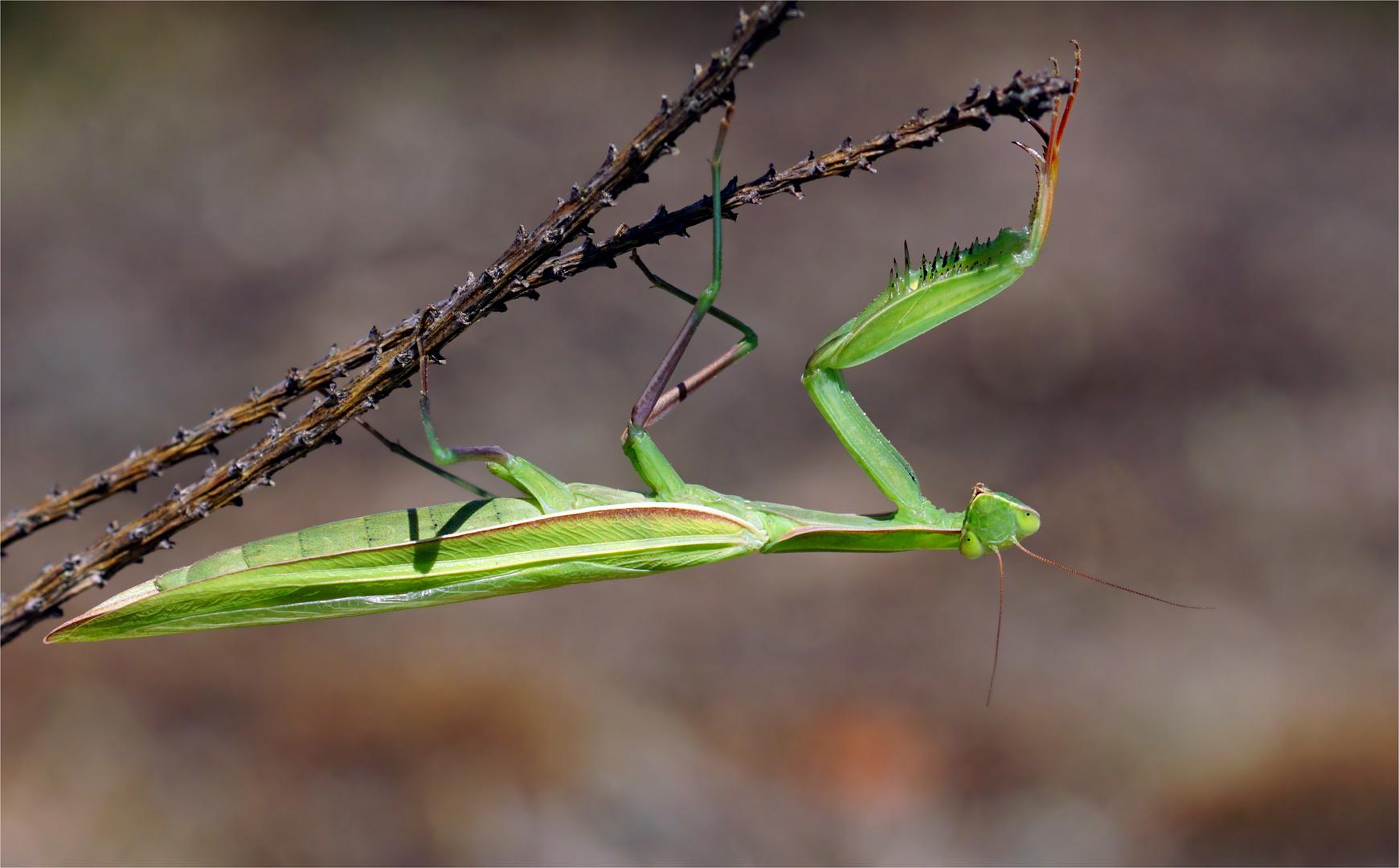 Sommerschönheit - Gottesanbeterin - Mantis religiosa