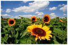 Sommersonnensonnenblumenlandschaft