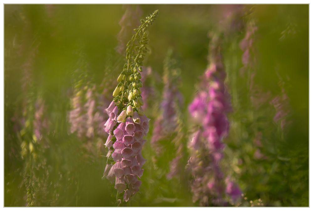 Sommertagstraum... - oder: ...im Finger-Hute-Wald -