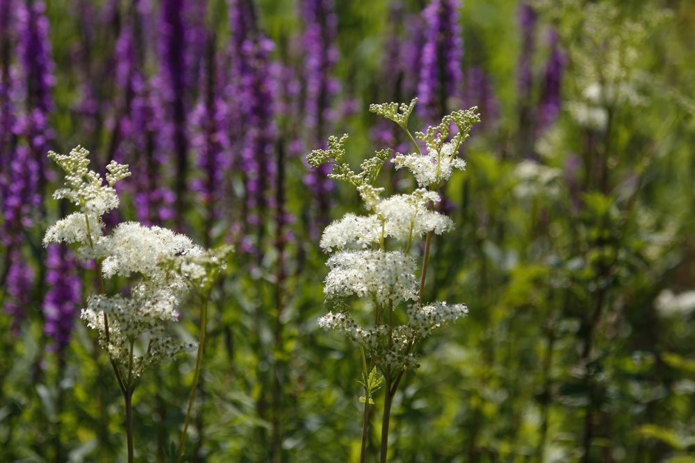Sommerwiese (II) - Mädesüß vor Blutweiderich
