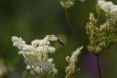 Sommerwiese (III) - Mädesüß und Biene