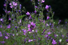 Sommerwiese mit Bienchen