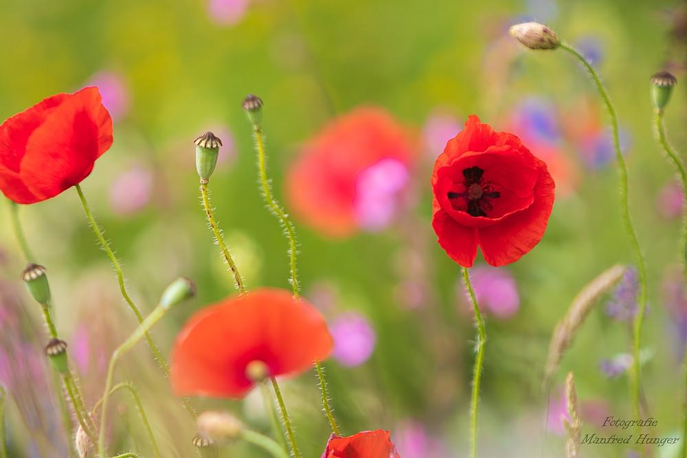Sommerwiese mit Klatschmohn (1)