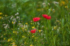 Sommerwiese mit Klatschmohn (2)