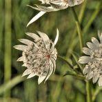 Sommerwiesenblume
