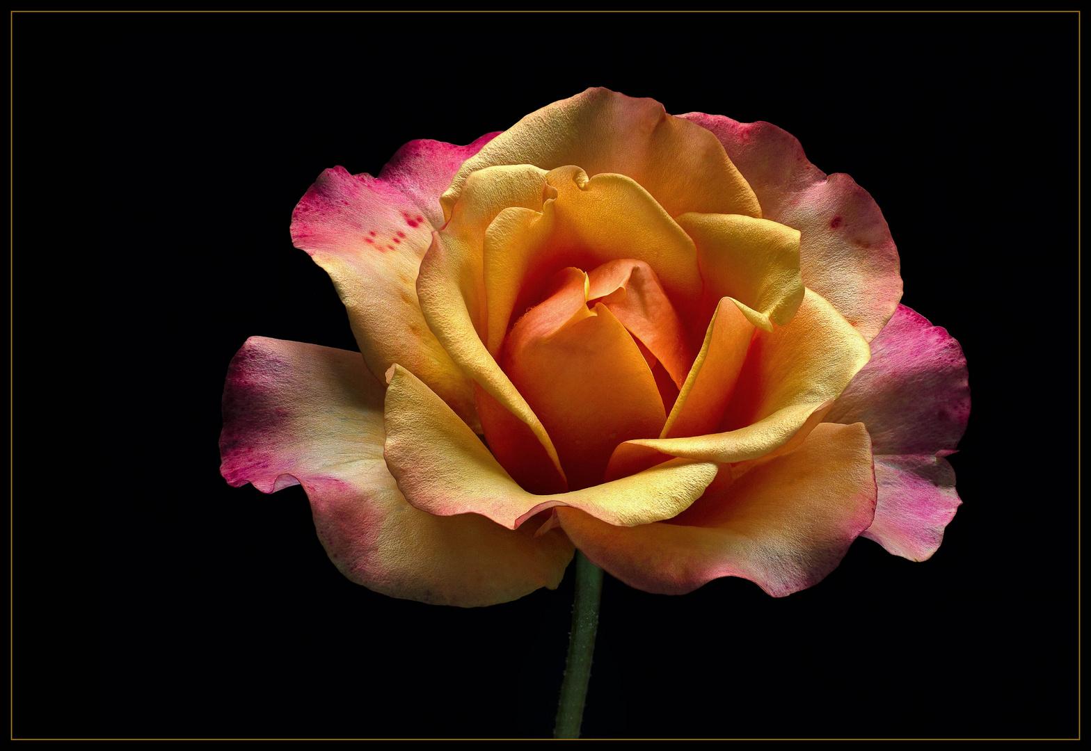 Sommerzeit ist auch die Zeit der herrlichen Rosen