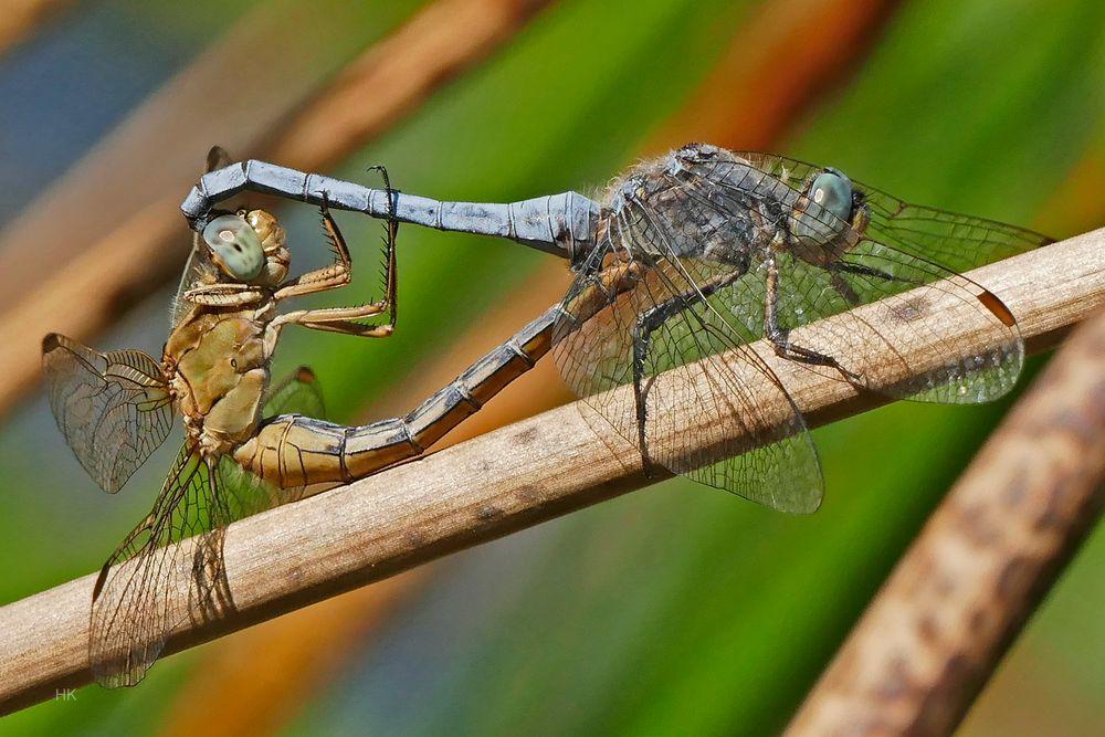 Sommerzeit ist Paarungszeit Südlicher Blaupfeil (Orthetrum brunneum)