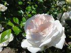 Sommerzeit/Rosenzeit II