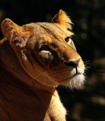 songe d'une lionne