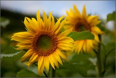 Sonne + Blume
