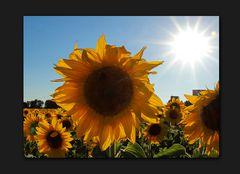 Sonne + Blume = Sonnenblume