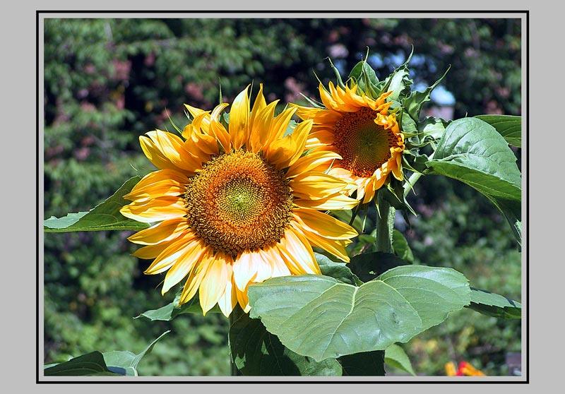 Sonne     -        Blume     -  Sonnenblume