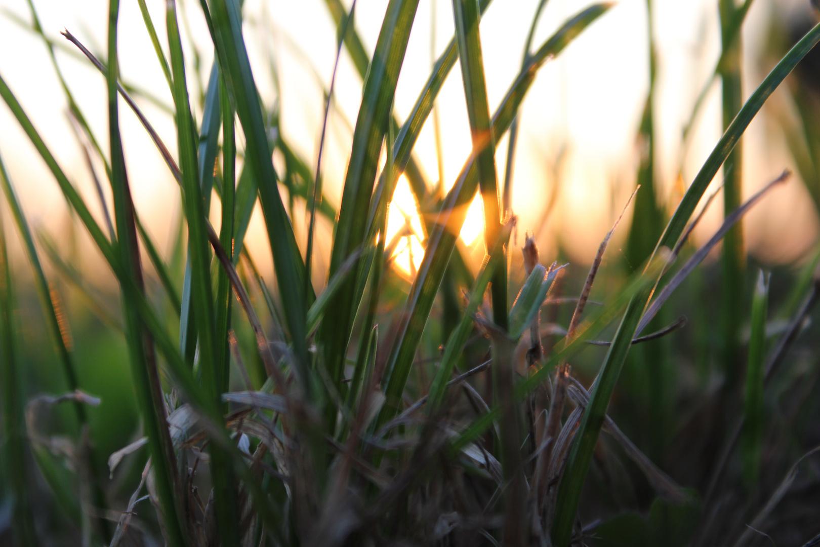Sonne im Felde