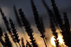 Sonne im Lavendel