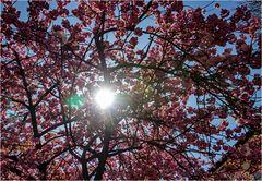 Sonne im Rüschenbaum
