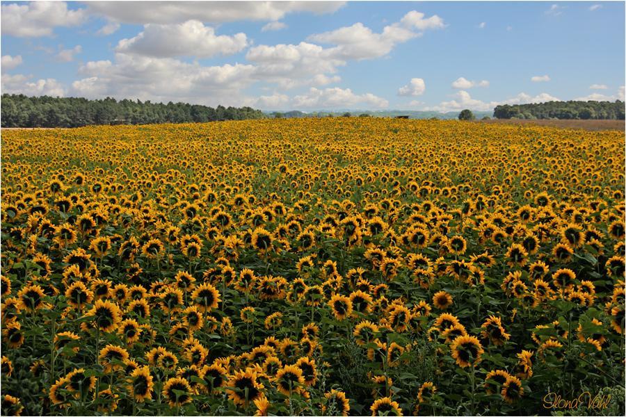 Sonne in Blüten,