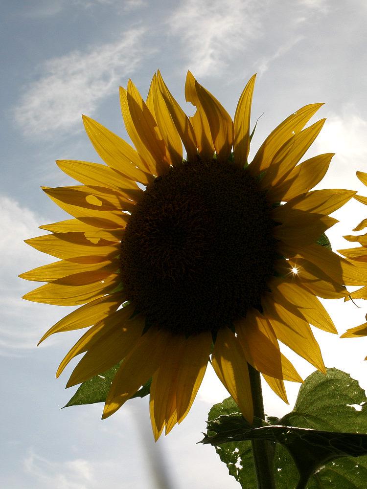 Sonne in der Blume