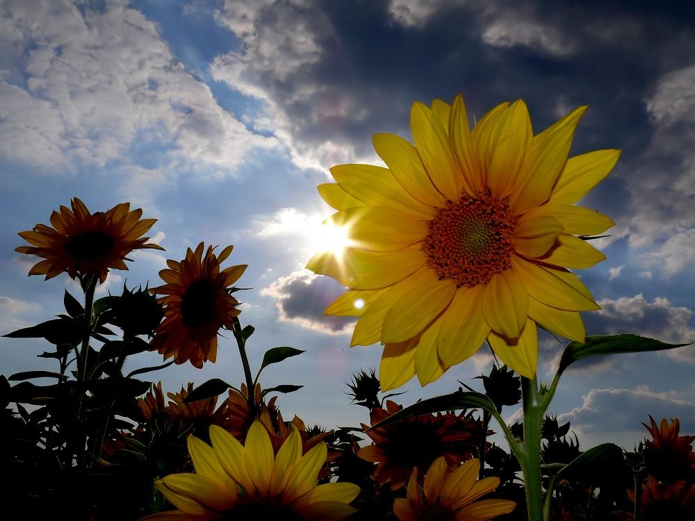Sonne (n) blumen