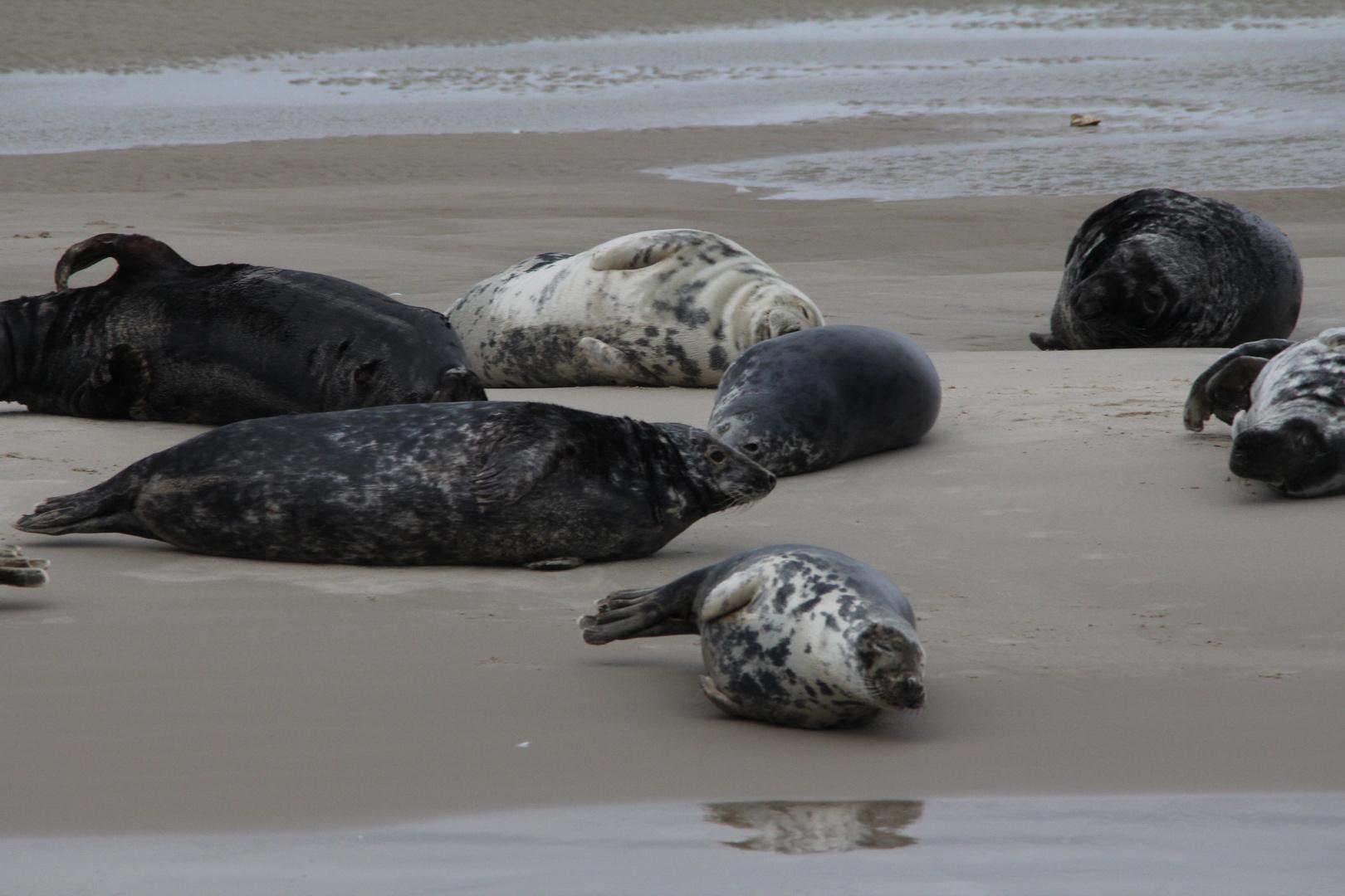Sonne tanken tun auch Die Seehunde auf den Sandbänken