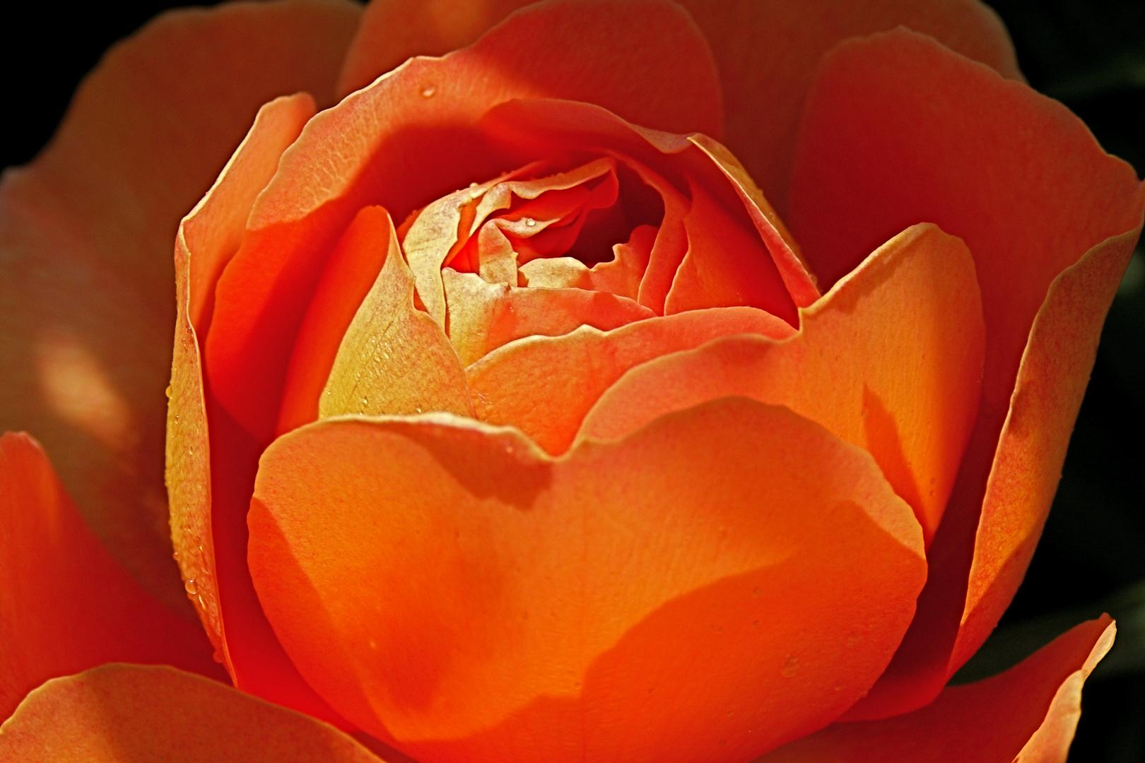 Sonne trifft Rose