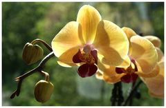 Sonne und Orchideenblüten