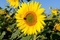 Sonneblumenkollektion