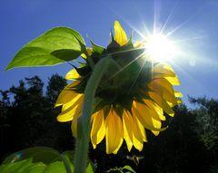 """Sonnen-Blume (1. der Serie Girasol) - """"WERDEN UND VERGEHEN"""""""