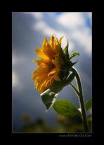 Sonnen Blume