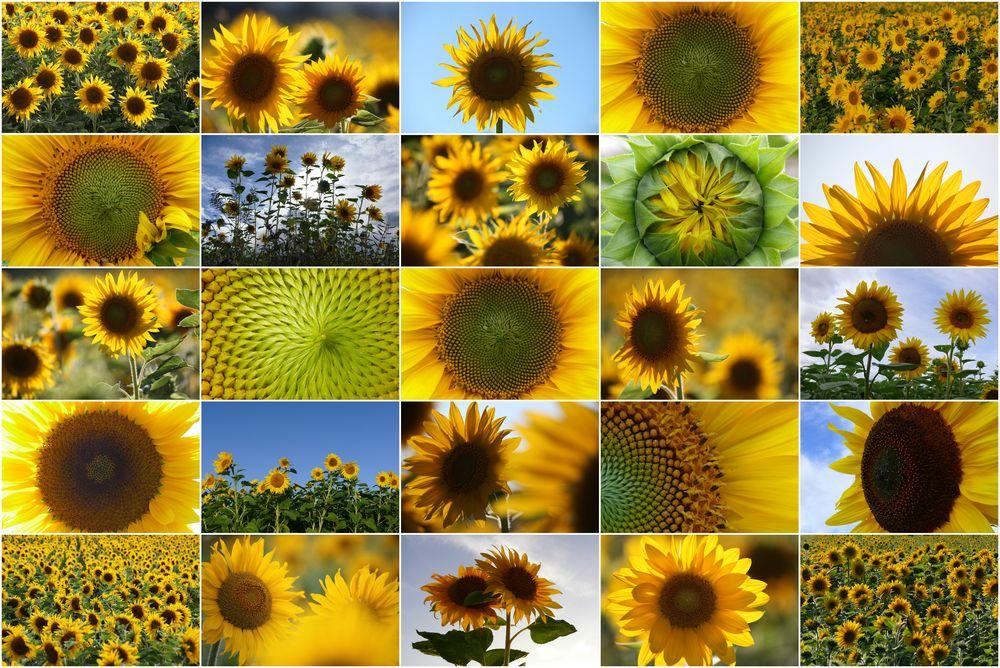 Sonnen-Blumen-Collage