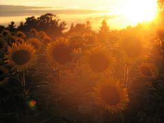 Sonnen-Blumen-Untergang