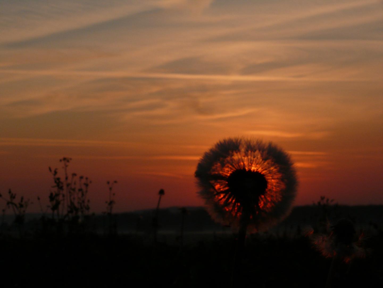 Sonnenaufgang hinterm Löwenzahn