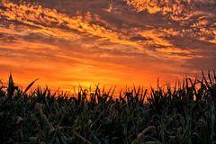 Sonnenaufgang im Maisfeld...