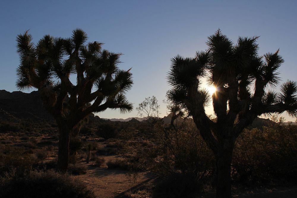Sonnenaufgang im Wald der Joshua Trees