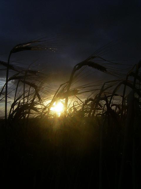 Sonnenaufgang im Weizenfeld