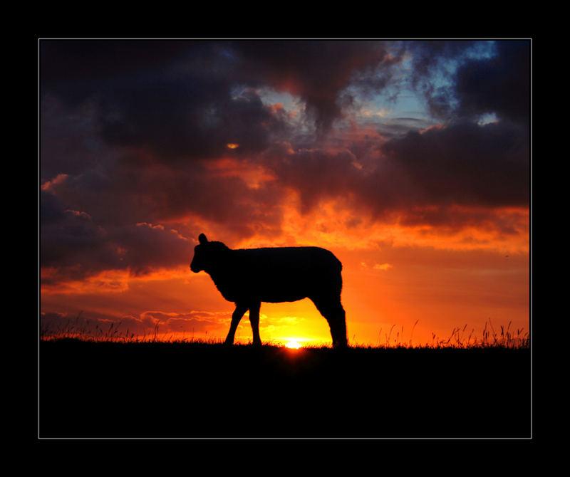 Sonnenaufgang in ein Schaf ...