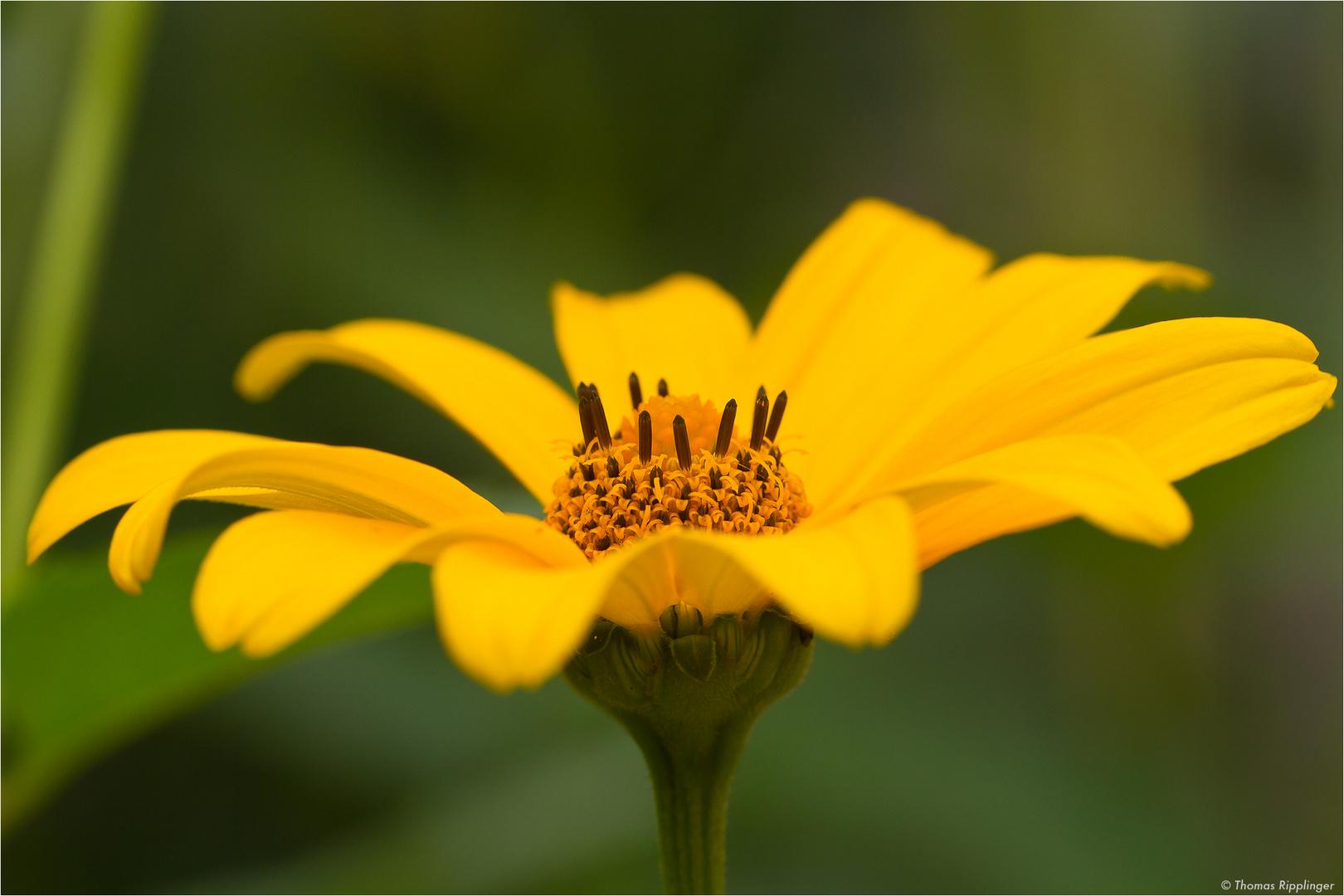 Sonnenauge (Heliopsis helianthoides).