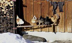 Sonnenbank für Hühner ...