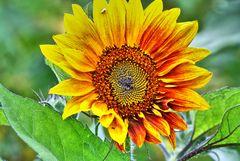 Sonnenblume 03