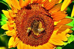 Sonnenblume 04