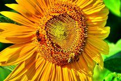Sonnenblume 06