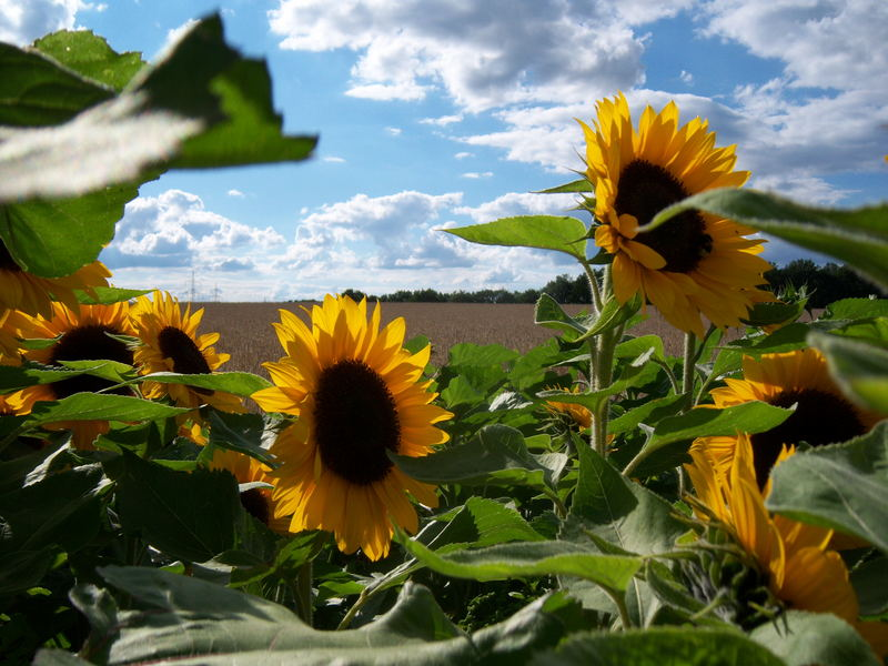 Sonnenblume 07
