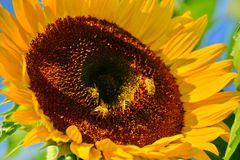 Sonnenblume 09