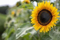 Sonnenblume (1)