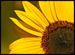 Sonnenblume #1