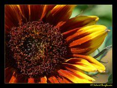 Sonnenblume... 1/2