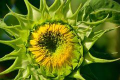 """Sonnenblume 12 """"Jetzt ist sie aufgegangen"""""""