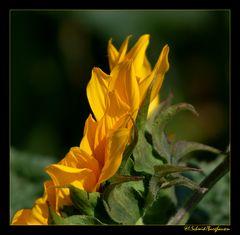 Sonnenblume... 1/3