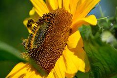 Sonnenblume 17